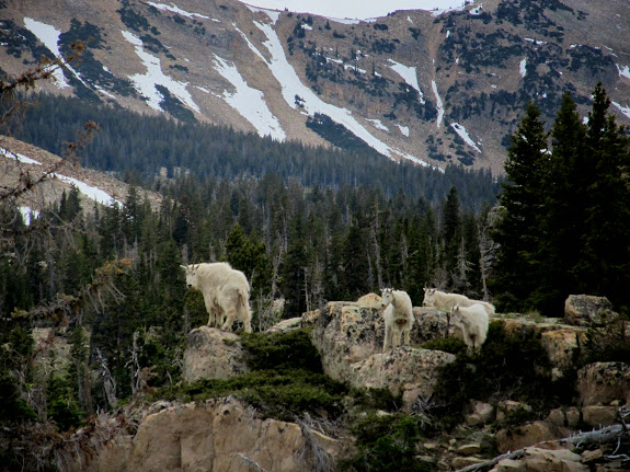 Mountain goats at the Notch