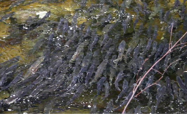Nearly 1,000 salmon gather to spawn in the back end of a creek. Photographer Courtney Quirin
