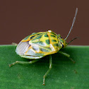 Stink or Shield Bug