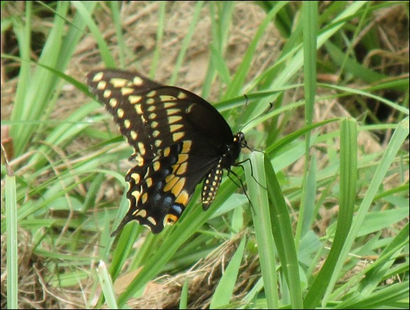 Eastern Black Swallotail Butterfly Insect Bug (4)