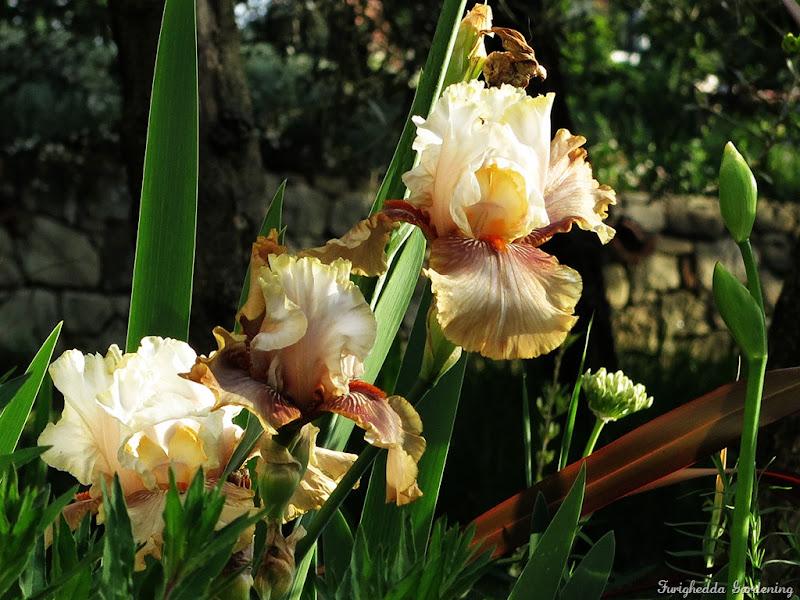 josie garden iris 4