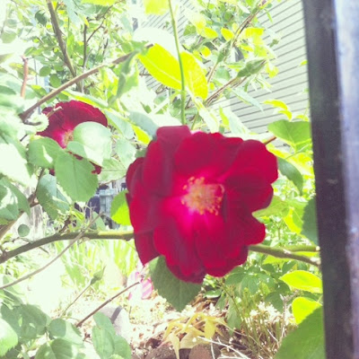 pretty dark red rose in urban garden