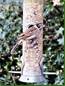 Reed Bunting (2)