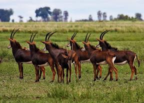 Sable Herd, Zimbabwe