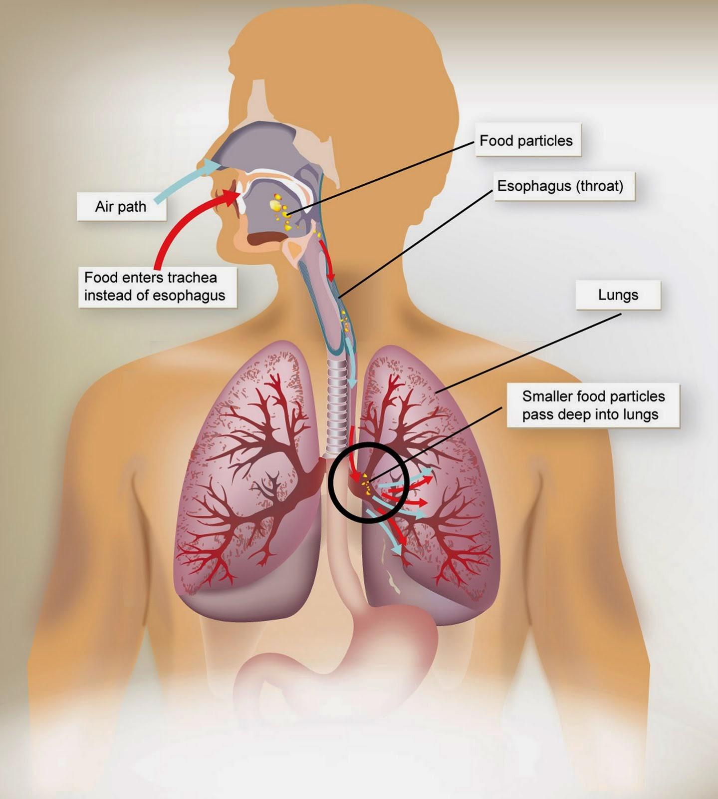 dan bekerjasama dengan sistem peredaran darah  Cara membersihkan paru-paru