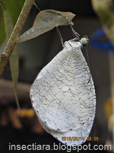http://insectiara.blogspot.co.id/2016/06/kupu-kupu-leptosia-nina-baru-menetas.html