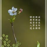 Making Cherry Blossoms like Chinese painting 將櫻花入畫