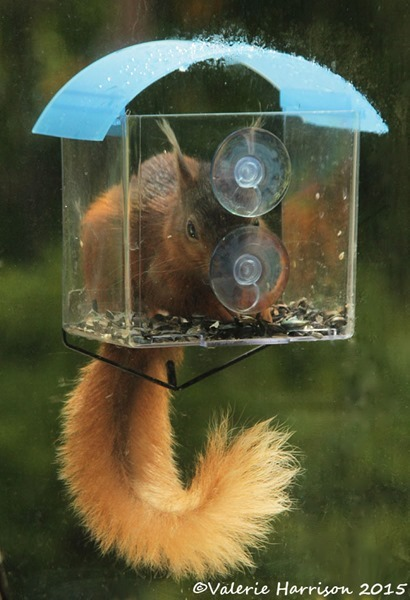 squirrel-in-window-feeder