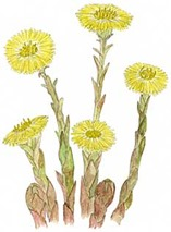 Coltsfoot[16]