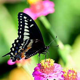 Beautiful butterfly by Ruth Overmyer - Animals Insects & Spiders