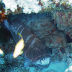 Black-saddle coral trout met poetsvissen