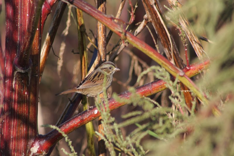 Swamp Sparrow? (Melospiza georgiana)