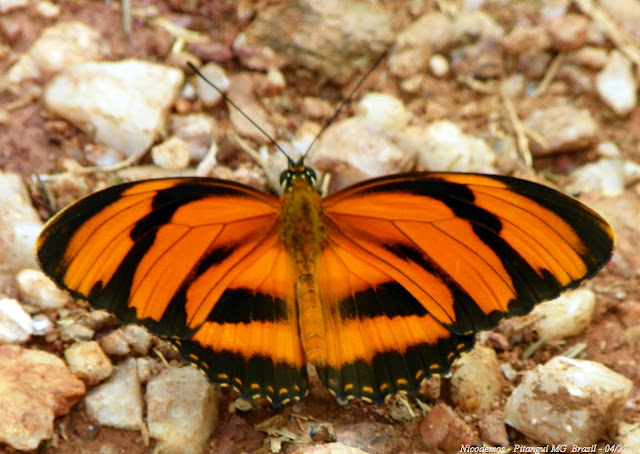Dryadula phaetusa (LINNAEUS, 1758). Pitangui (MG, Brésil), 27 avril 2011. Photo : Nicodemos Rosa