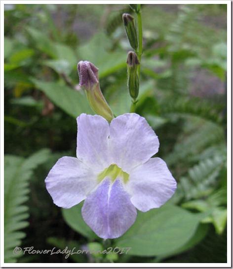 11-04-wild-petunia