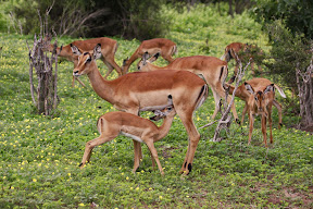 Impala Female and Nursing Baby, Zambia