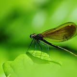 Odonata : Calopterygidae : Calopteryx virgo (L., 1758). Les Hautes-Lisières (Rouvres, 28), 7 juin 2013. Photo : J.-M. Gayman