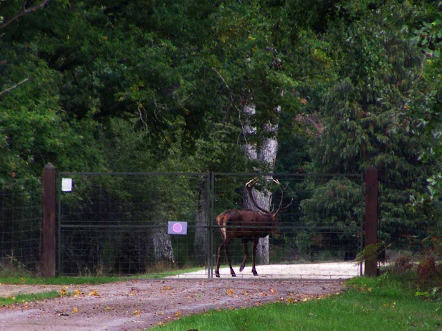 Red Deer stag, Chateau of Chambord estate, Loir et Cher, France. Photo by Loire Valley Time Travel.