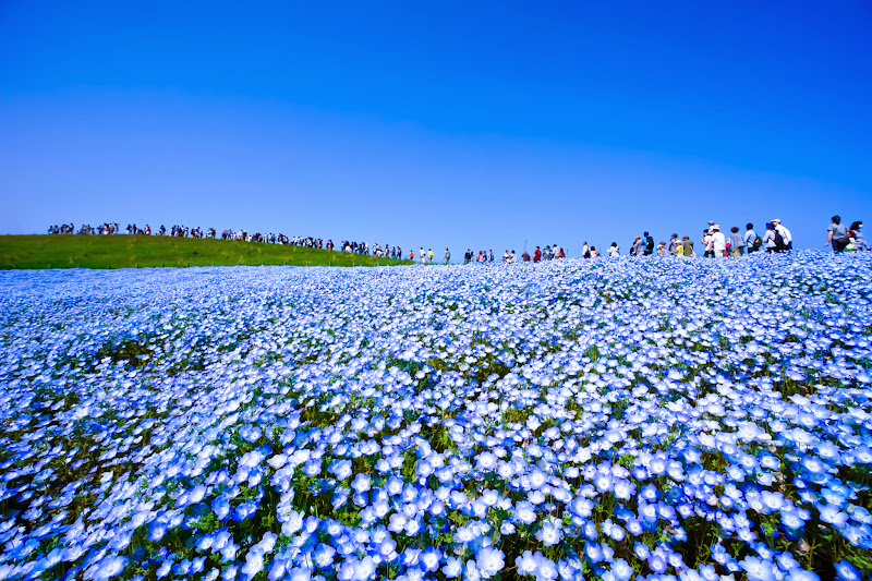 Hitachi Seaside Park Nemophila (baby blue eyes flowers) photo14