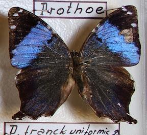 PROTHOE FRANCK UNIFORMIS.JPG