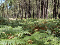 Helechos en Selva Pascuala