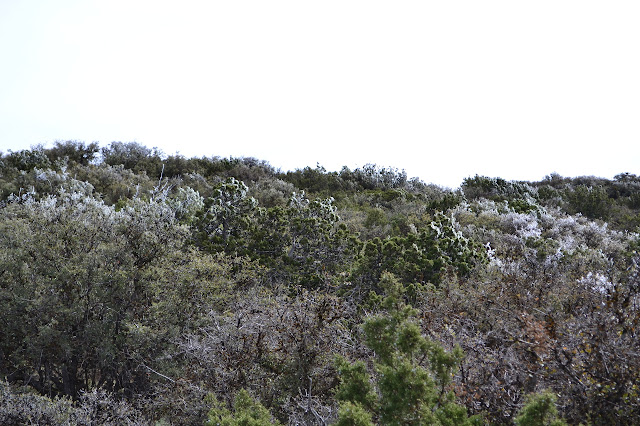 junipers with ice on the windy side in their upper reaches