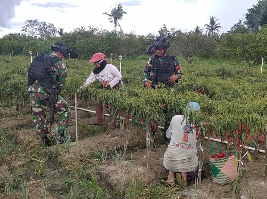Ciptakan Kebersamaan , TNI  Bantu Petani Panen Cabai di Papua.