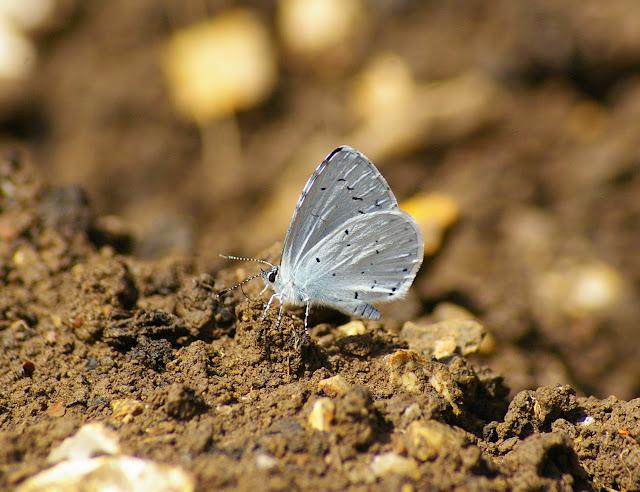 Celastrina argiolus LINAAEUS, 1758. Les Hautes-Lisières, 16 juillet 2009. Photo : J.-M. Gayman