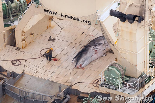 A poached Minke whale body on the flensing deck of the whale factory ship, Nisshin Maru. Photo: Sea Shepherd