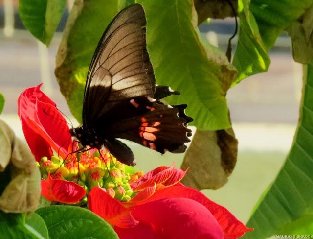 Heraclides anchisiades capys (HÜBNER, [1809]), femelle. Curitiba (Paraná, Brésil). 28 avril 2013. Photo : Mauricio Skrock