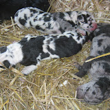 darkest harl is a girl and the merle is a girl. The harl with the smaller spots is the male