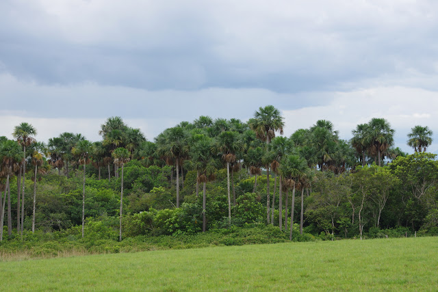 Laguna Tinije, 186 m (Casanare, Colombie), 5 novembre 2015. Photo : J.-M. Gayman