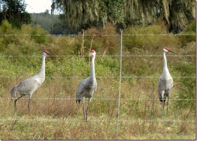 cranesIMG_5746