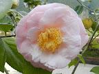 淡桃色 底白 八重咲き 極大輪