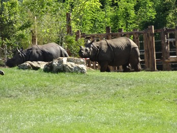 2017.06.17-055 rhinocéros indiens