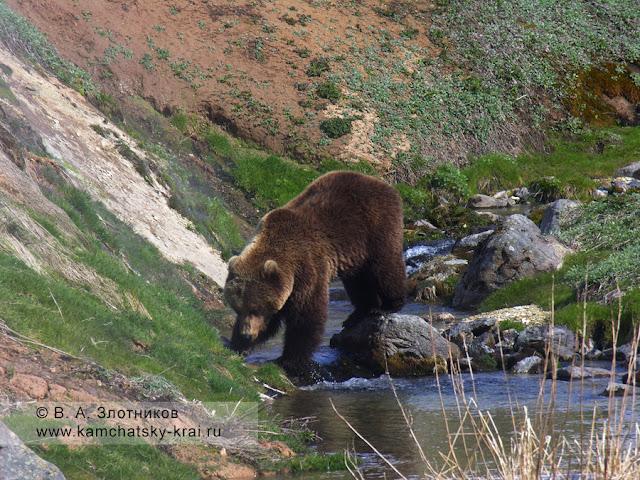 Камчатский край медведь