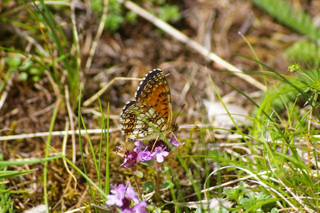 Melitaea diamina LANG, 1789 (1700 m). La Blachière (Ubaye), 9 juillet 2010. Photo : J.-M. Gayman