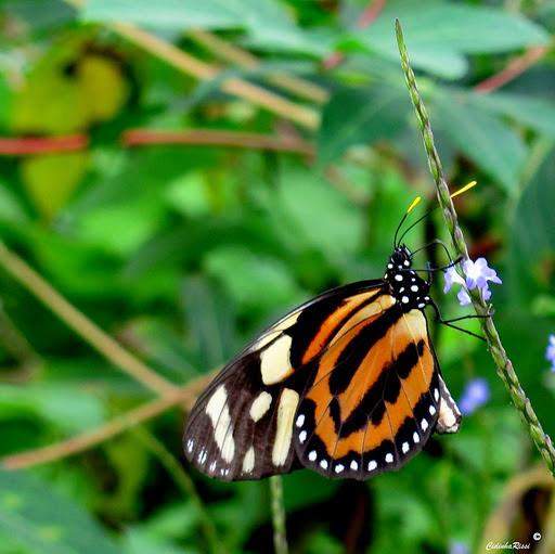 Lycorea halia atergatis DOUBLEDAY, [1847]. Colider (Mato Grosso, Brésil), 4 décembre 2011. Photo : Cidinha Rissi