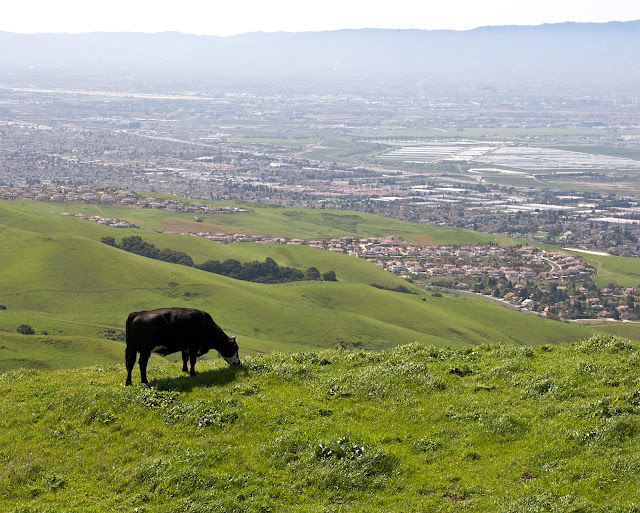 Mission Peak Cow
