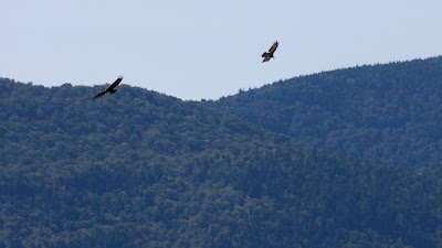 Turkey Vultures kettling above Green Mountain, Wallingford Vermont.