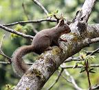 ホンドリス 普段はとても用心深いので、姿を見せてもホンの一瞬。木の裏側に回るわ、樹上に消えていくわで、とても写真を撮るどころではない。 それが唯一人間が見ていてもかまわず姿を見せてくれるのが、胡桃の実を食べている時だ。今年は8月20日からの2週間くらいだった。いつもより長いと思った。 それが、この春驚いたことに、彼らは胡桃の新芽にも目がないということを発見。この時期は、葉が茂っていない分明るくてよく観察できる。写真にはうってつけの条件で、毎年秋口に狙っていたのに撮れなかった写真が撮れた。