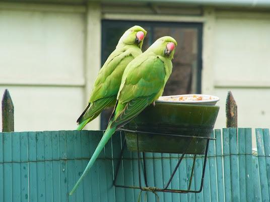 des perruches à collier dans mon jardin PERRUCHE+A+COLLIER+%25286%2529