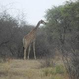Giraffe spotted at the Khama Rhino Sanctuary