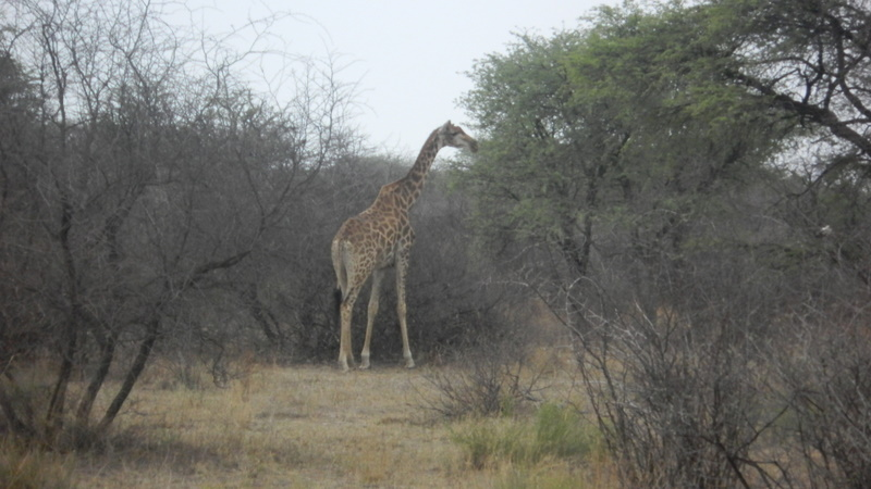 Giraffe spotted at the Khama Rhino Sanctuary