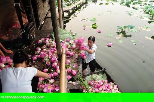 Hình 10: Hà Nội rực rỡ mùa hoa sen