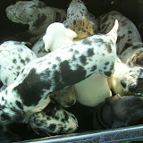 garden cart full of puppies @ 3 1/2 weeks