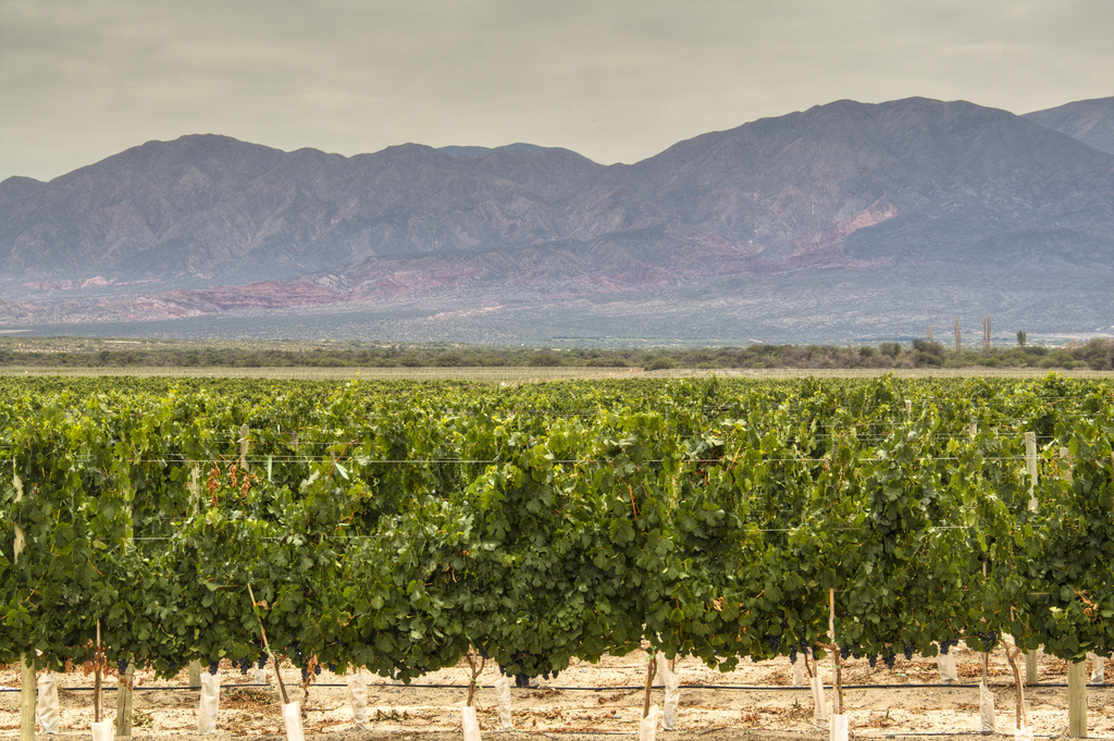 Cafayate Vineyards, Salta, Argentina