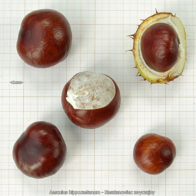 Aesculus hippocastanum seeds - Kasztanowiec zwyczajny nasiona