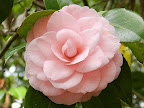 桃色 千重咲き 中輪