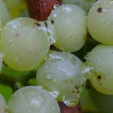2013 vendanges du chardonnay - 2013%2B09%2B28%2BGuimbelot%2Bvendanges%2Bdu%2BChardonnay%2B162.jpg
