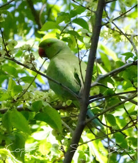 Rose-ringed Parakeet. Paris. Copyright  © Shelley Banks, all rights reserved.